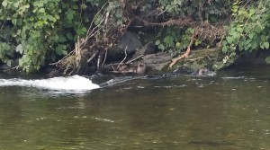 Two Dyfi otters