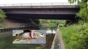 The discerning motorway brown trout